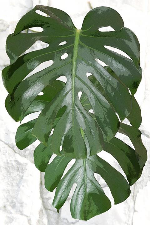 """Poster """"Philodendron"""" Pflanzenblatt, Blätter, Urwald, Ast, Wandbild"""